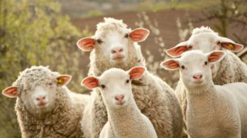 Leaders of sheep